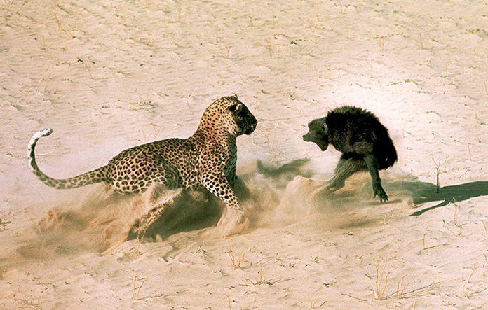 Wie der Leopard zu seinen Flecken kam