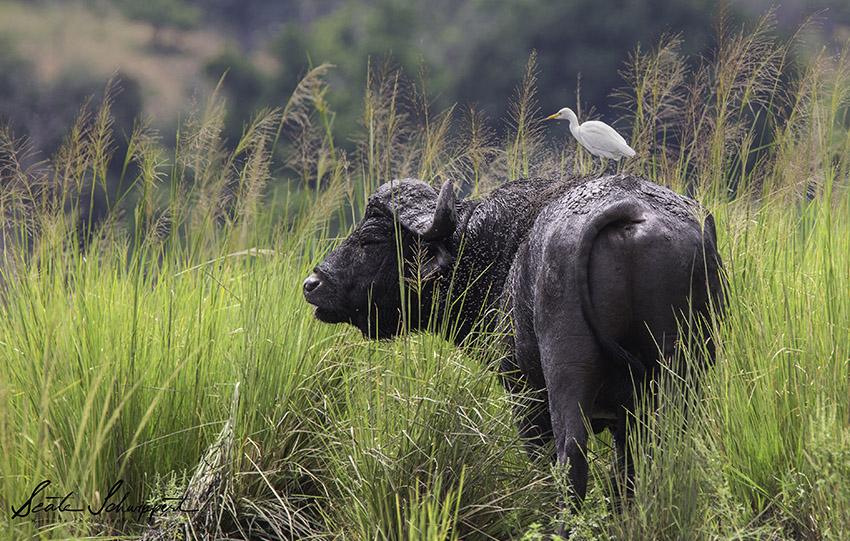 Büffel mit Reiher