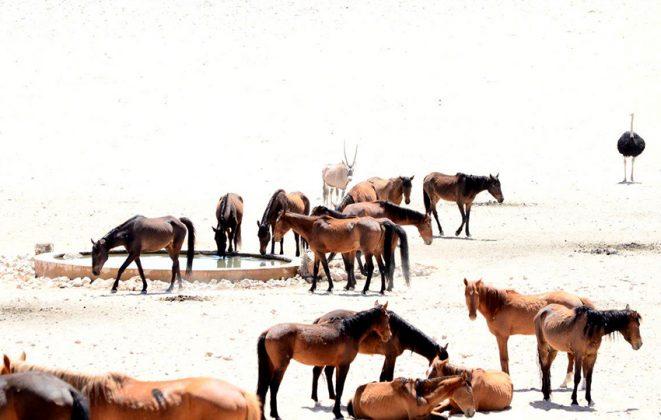 Wilde Pferde Garub
