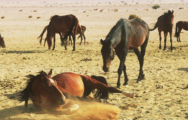 Wilde Pferde Sandbad