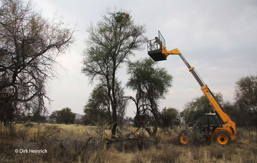 Namibia Beringung von Geiern