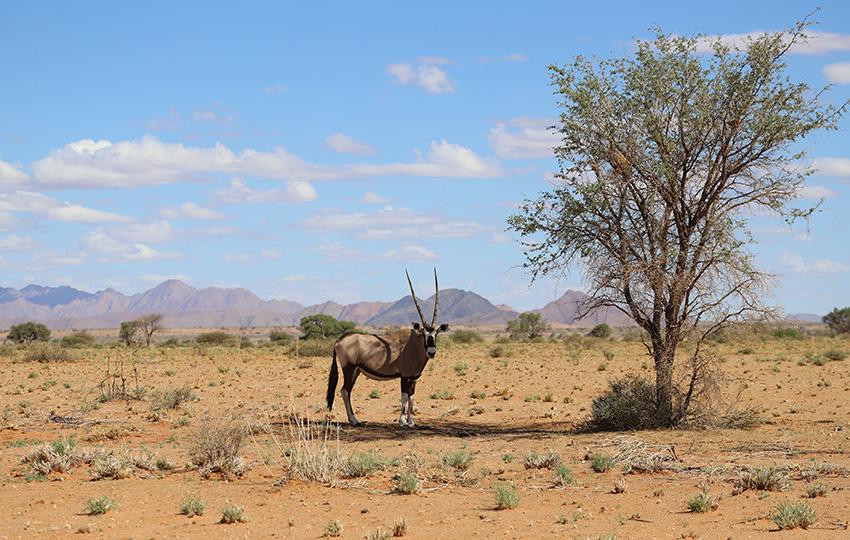 Namibia Oryx-Antilope