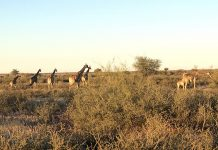 Gondwana Kalahari Park Giraffen