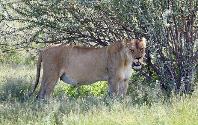 Namibia trächtige Löwin