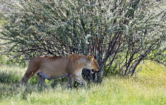 Löwin im Etosha Nationalpark