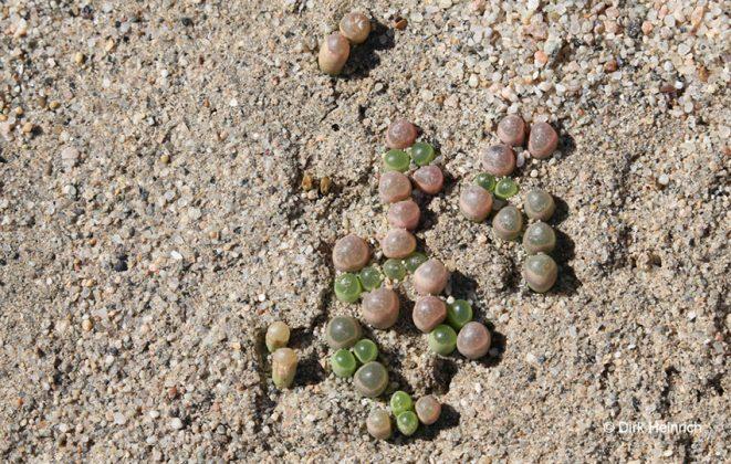 Fenestraria rhopalophylla Fensterpflanze