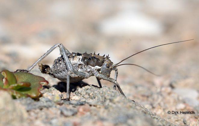 Hermithetrodes bachmanni Bachmann´s Sattelschrecke