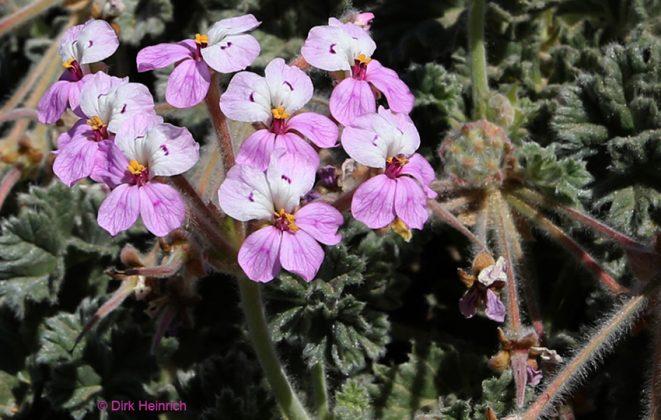 Pelargonium cortusifolium Wilde Geranie