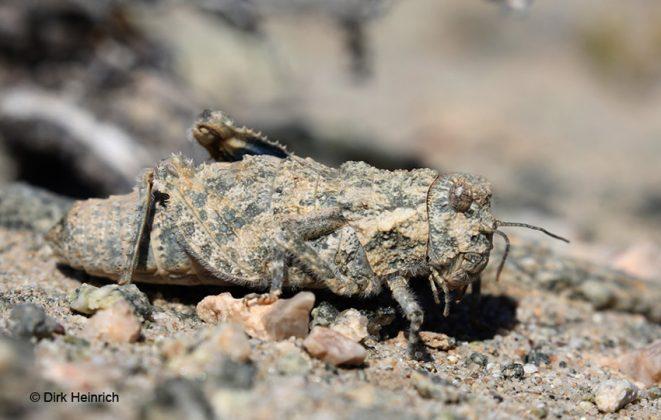 Trachypetrella anderssonii Krötenschrecke