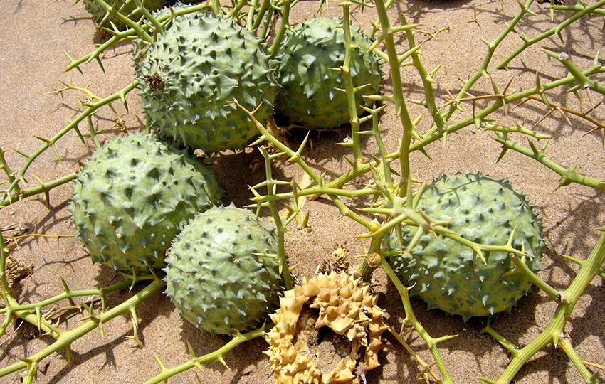 Namib Nara-Melonen