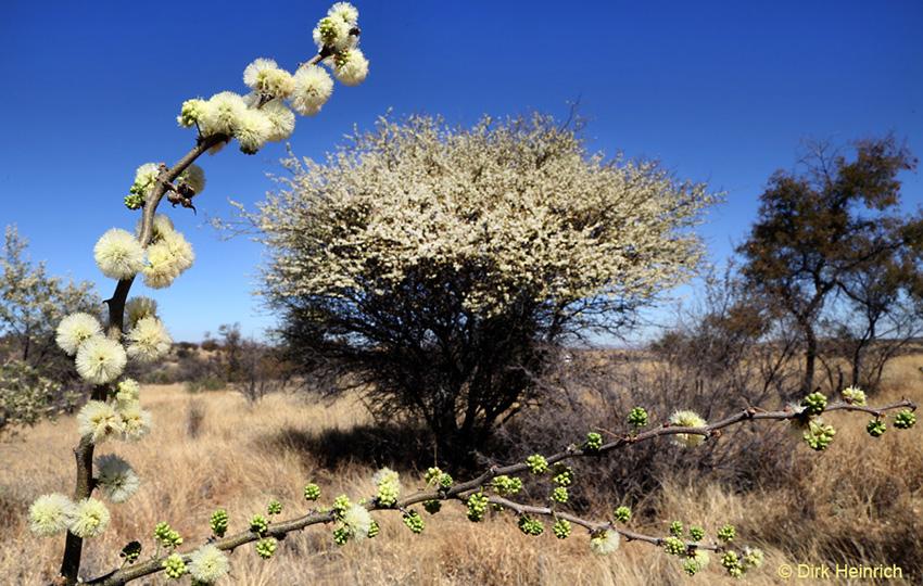 Hakendornakazie Namibia
