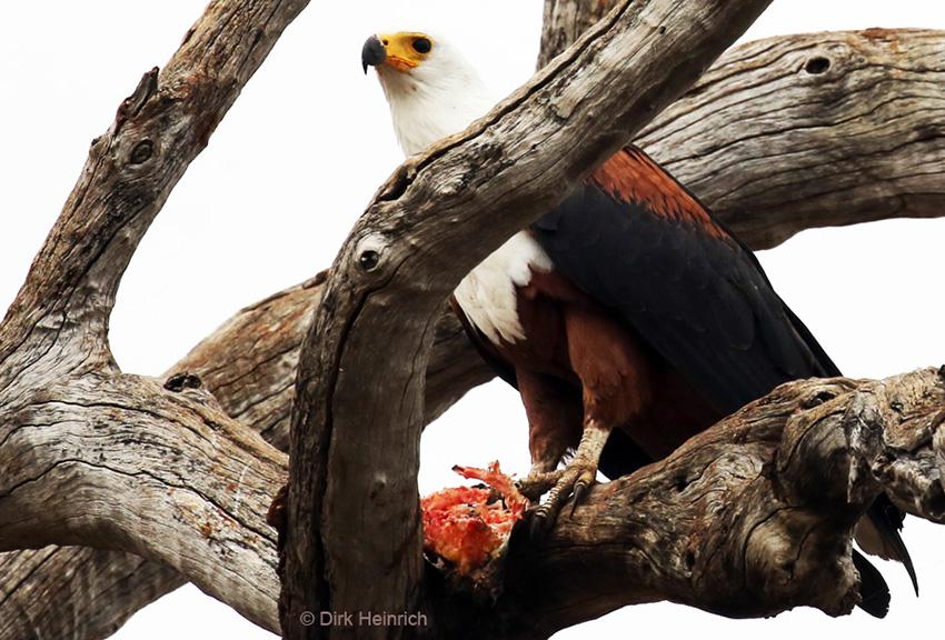 Schreiseeadler Chobe Namibia