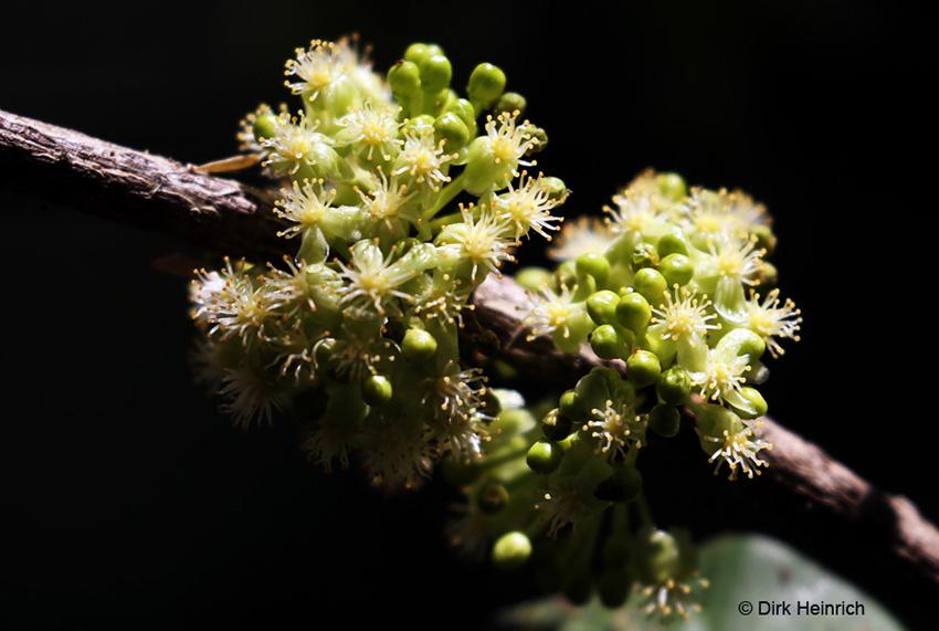 Garcinia livingstonei Namibia