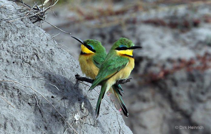 Zwergbienenfresser Kwando Namibia
