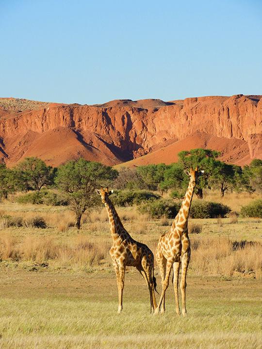 Giraffen Gondwana Namib Park
