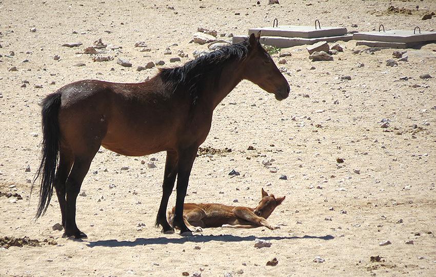 Namibs Stute und Fohlen