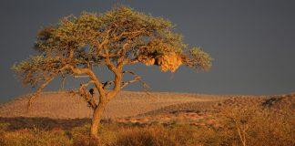 Kameldornbaum Namibia