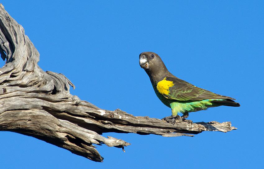 Papagei, Namibia