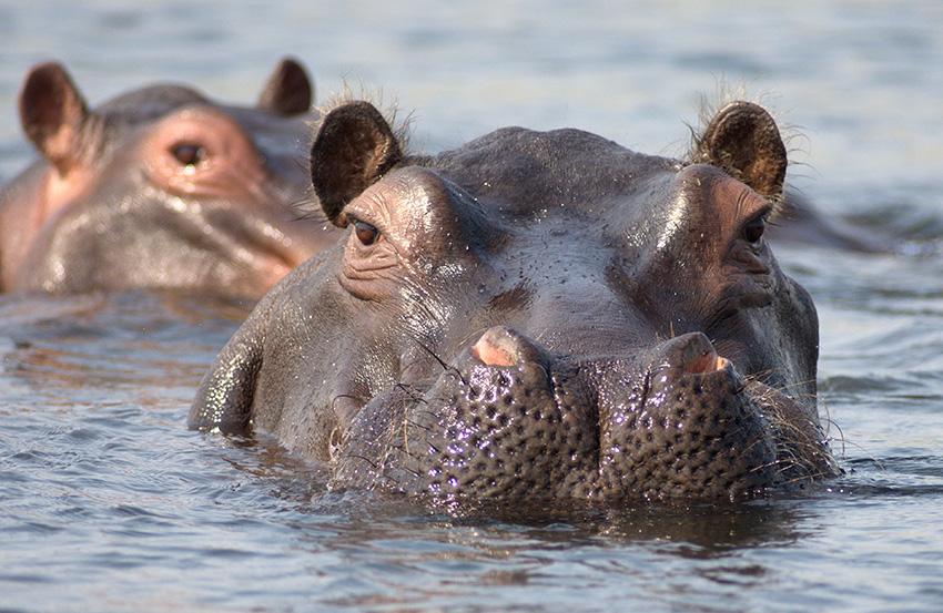 Flusspferde, Sambesi-Region