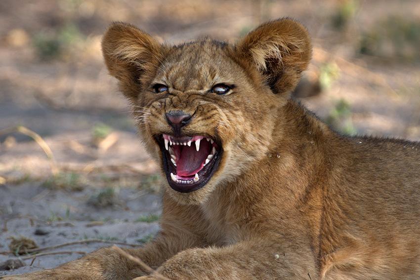 Löwenjunges, Namibia