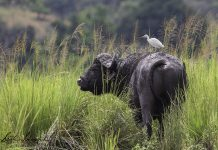 Namibia: Büffel mit Reiher