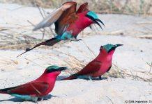 Scharlachspinte, Namibia