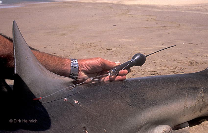 Kupferhai mit Sender