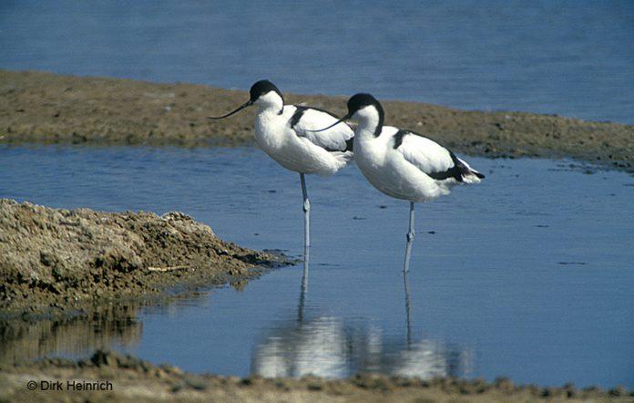 Säbelschnäbler Namibia