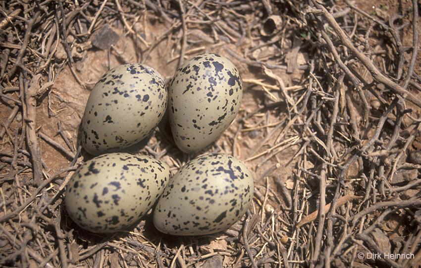 Säbelschnäbler Eier