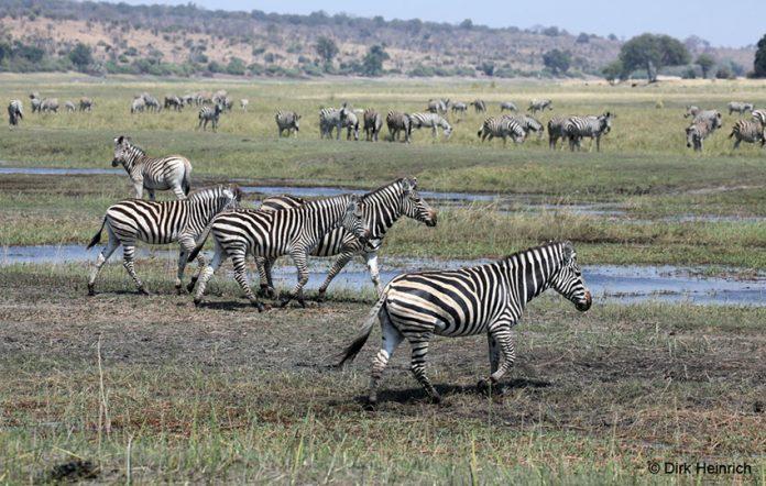 Zebras am Chobe, Namibia
