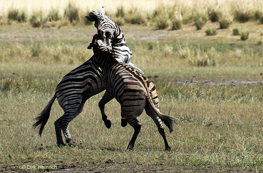 kämpfende Zebras, Namibia
