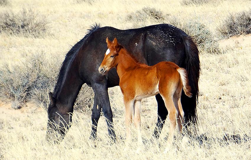 Fohlen der wilden Pferde der Namib