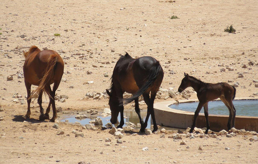 Wilde Pferde, Namibia
