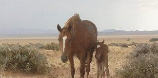 Wilde Pferde der Namib