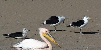 Seevögel Namibia