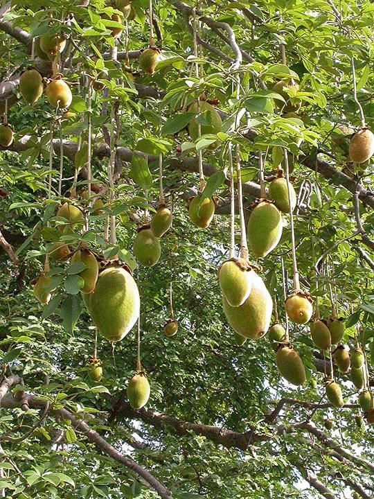 Baobabfrüchte am Baum