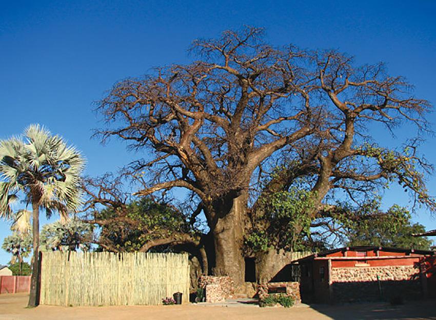 Baobab Ombalantu