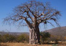 Baobab Kunene