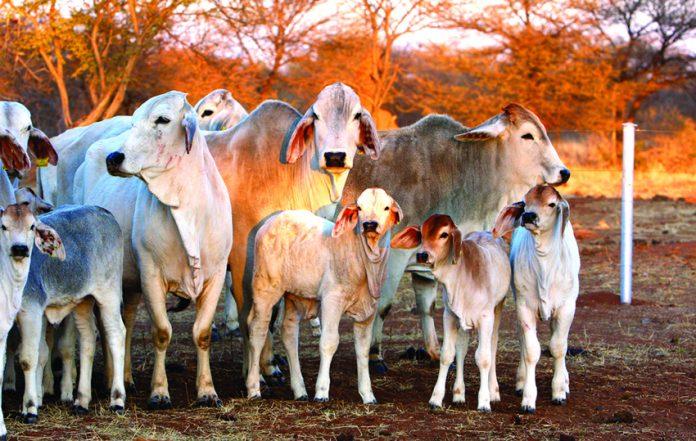 Brahman-Kühe und -Kälber