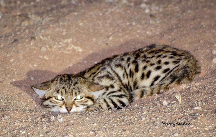 Schwarzfußkatze Namibia