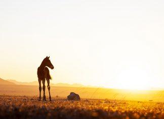 Wilde Pferde der Namib, Fohlen