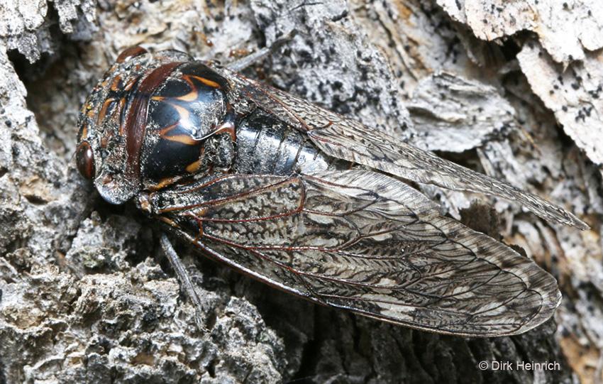Zikade Munza laticlavia