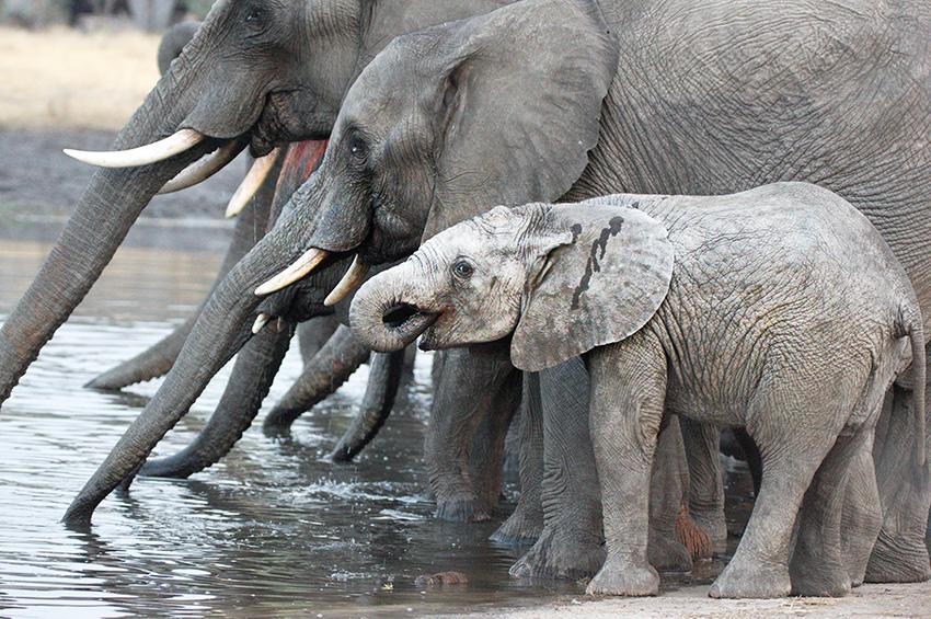 Elefantenfotografie - Rüsselparade