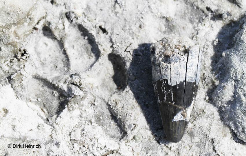 Fossilien Krokodilzahn