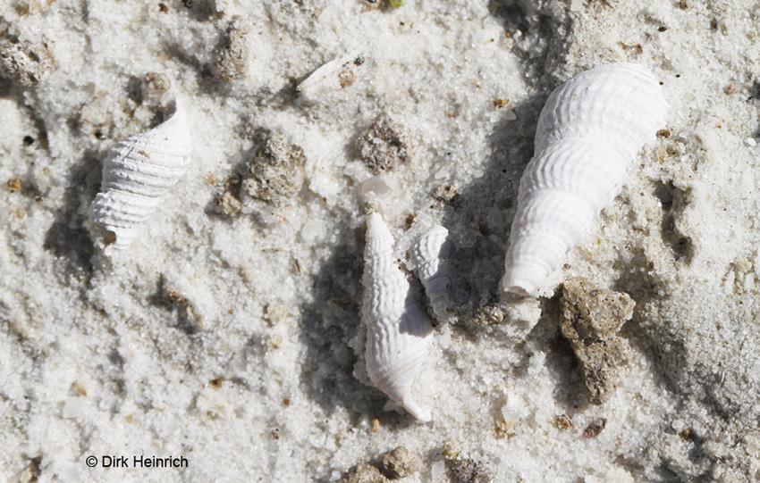 Fossilien Schnecken