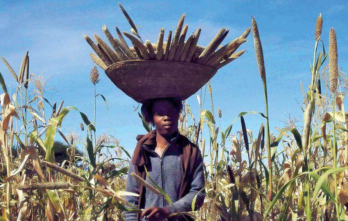 Mahango-Ernte Namibia