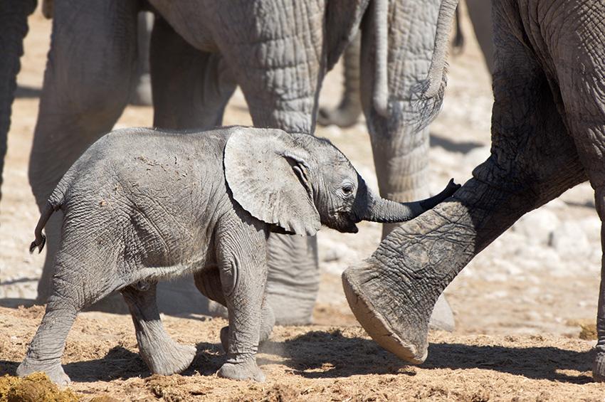 Elefantenfotografie - Kontakt