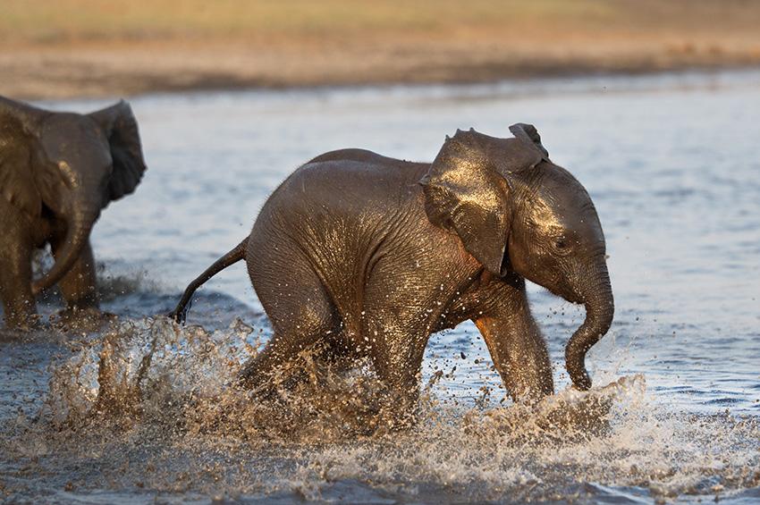 Elefantenfotografie - Elefantenjunges