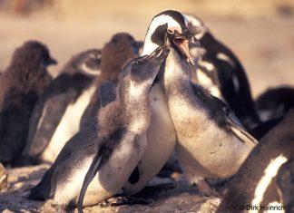 Pinguine, Namibia