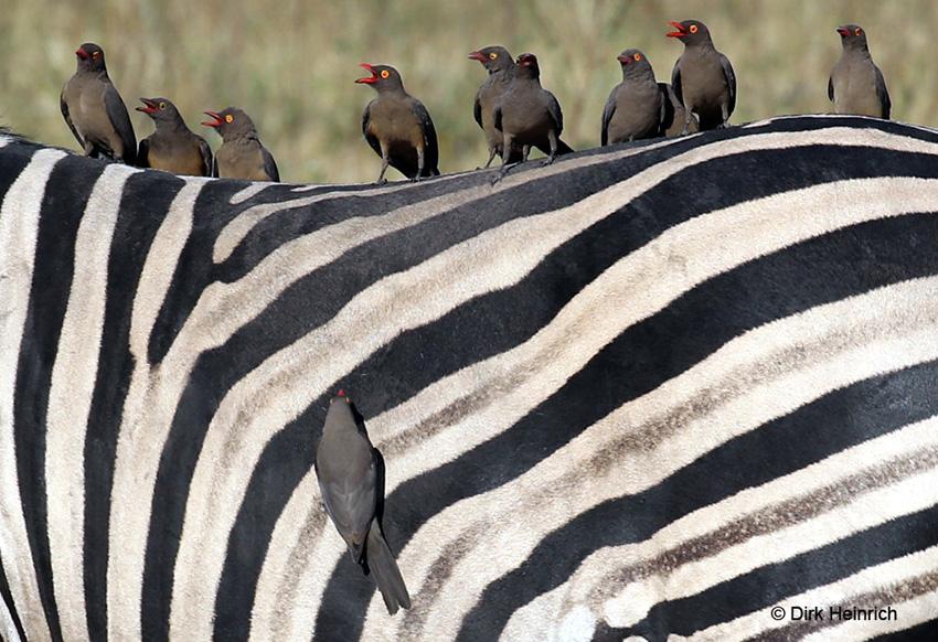 Zebra mit Madenhackern, Chobe
